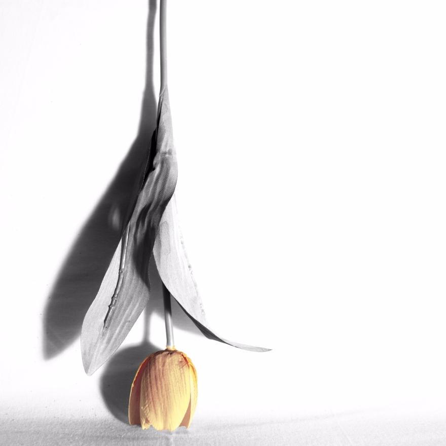 med-en-enkel-tulipan.jpg
